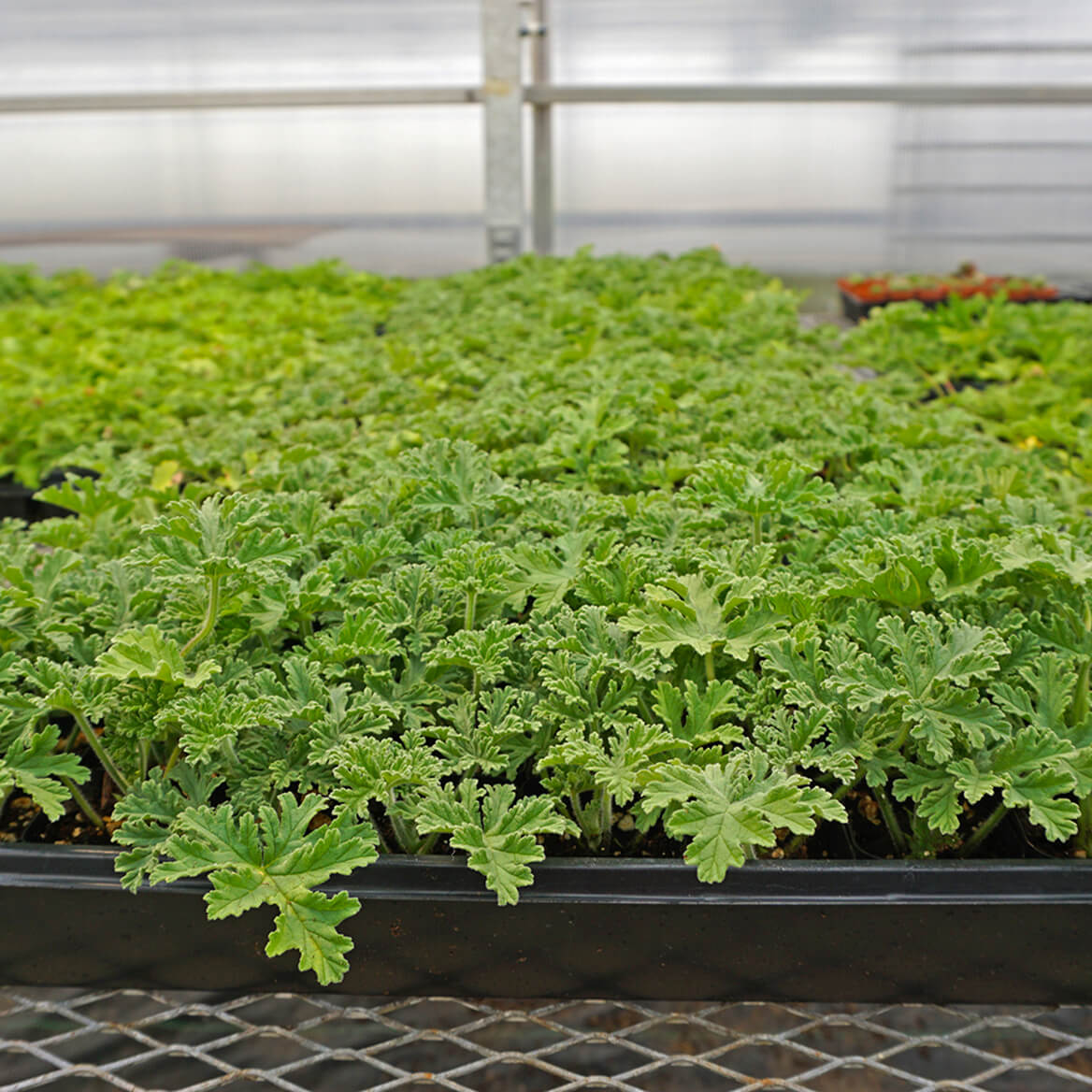 Anti Mosquito Plants Set/2-309921