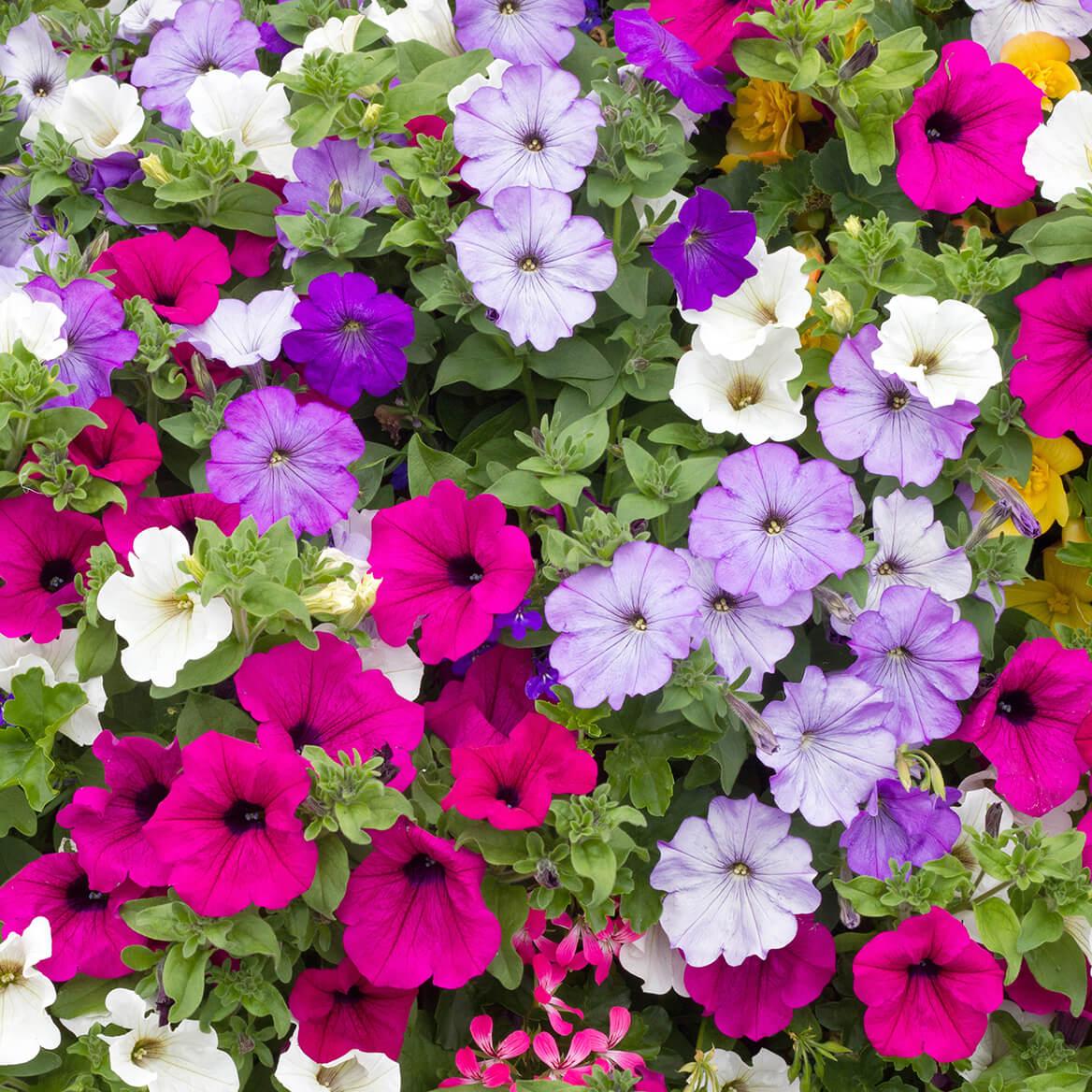 Bag O'Blooms® Sun Loving Petunia Saddle Bag-362061
