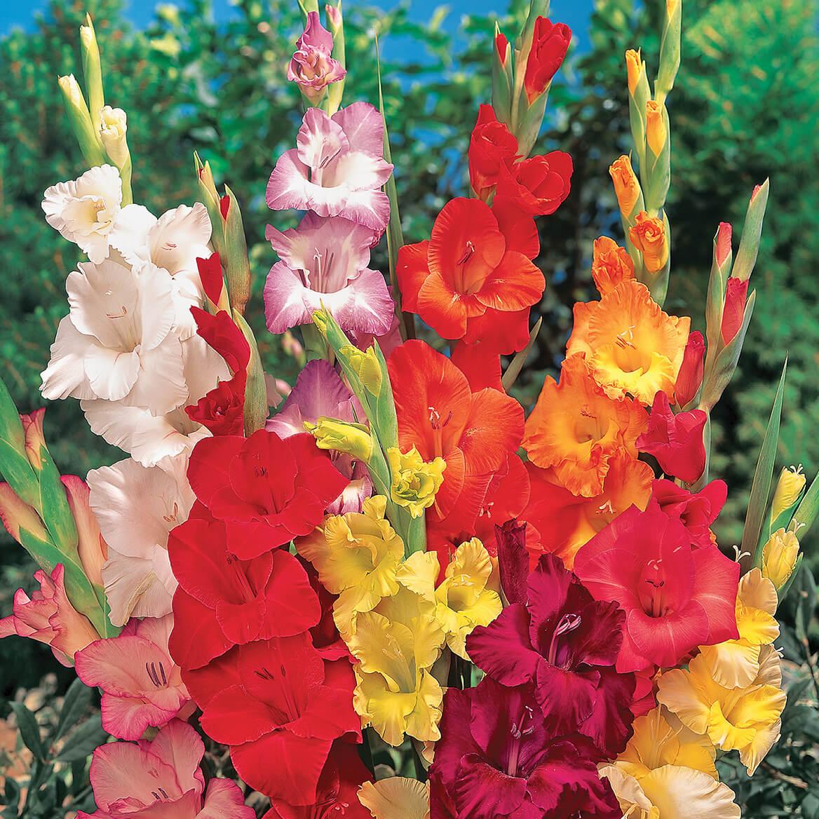 Gladiolus Mix-362189