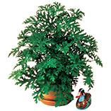 Plants, Seeds & Garden Rolls - Anti Mosquito Plant
