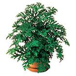 Plants, Seeds & Garden Rolls - Anti Mosquito Plants - Set Of 2