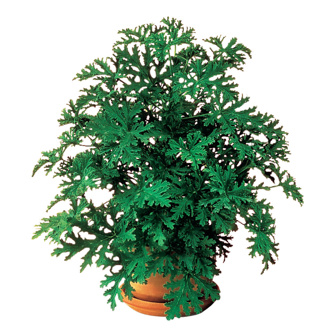 Anti Mosquito Plant Set Mosquito Repelling Plant Miles Kimball