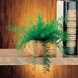 Plants, Seeds & Garden Rolls - Mysterious Air Fern®