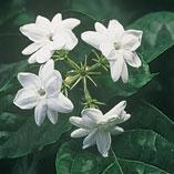Plants, Seeds & Garden Rolls - Peacock Jasmine Plant