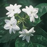Plants, Seeds & Garden Rolls - Peacock Jasmine Plants - Set of 2