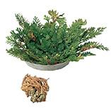 Plants, Seeds & Garden Rolls - Resurrection Plant™