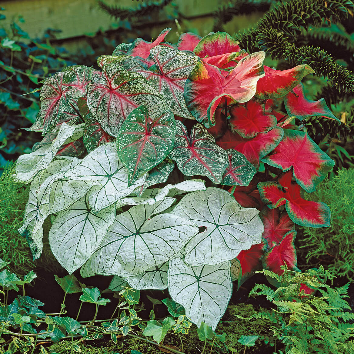Caladium Rainbow Mix-362192